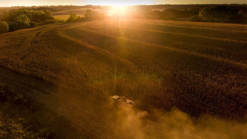 Corn being harvested at sunset.