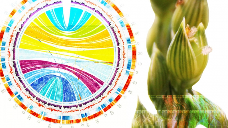 Sequenced Genome of Ancient Crop Could Raise Yields
